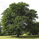 eiken boom groen