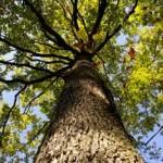 eiken boom onderaf
