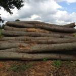 eikenhouten stammen
